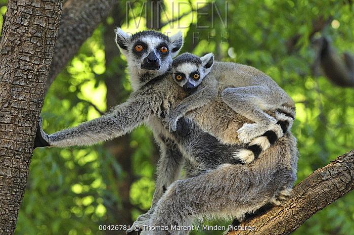 Ring-tailed Lemur (Lemur catta) female and baby, Berenty Private Reserve, Madagascar  -  Thomas Marent
