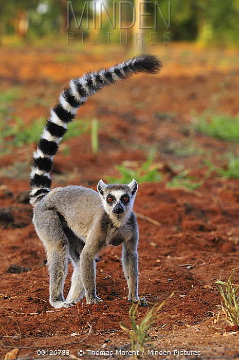 Ring-tailed Lemur (Lemur catta) on recently plowed agricultural field, Berenty Private Reserve, Madagascar  -  Thomas Marent