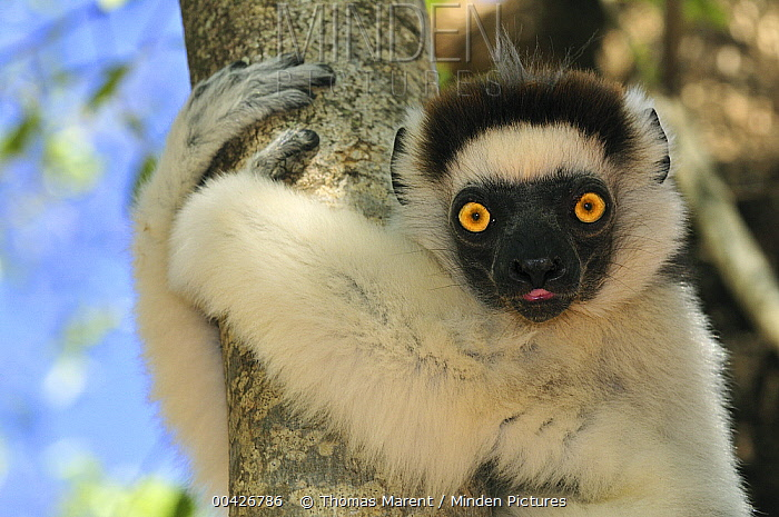 Verreaux's Sifaka (Propithecus verreauxi) clinging to tree, Berenty Private Reserve, Madagascar  -  Thomas Marent
