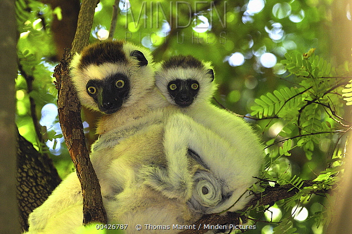 Verreaux's Sifaka (Propithecus verreauxi) mother with an infant, Berenty Private Reserve, Madagascar  -  Thomas Marent