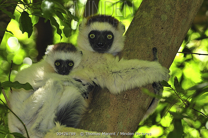 Verreaux's Sifaka (Propithecus verreauxi) mother with an infant, Berenty Private Reserve, Madagascar  -  Thomas Marent