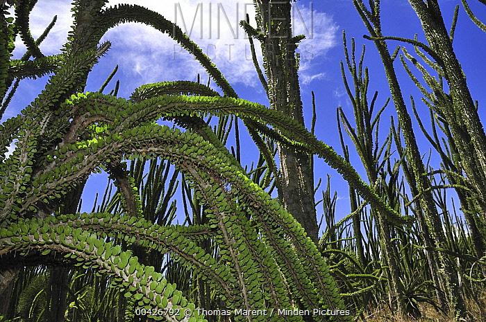 Madagascan Ocotillo (Alluaudia procera), Spiny Forest, Berenty Private Reserve, Madagascar  -  Thomas Marent