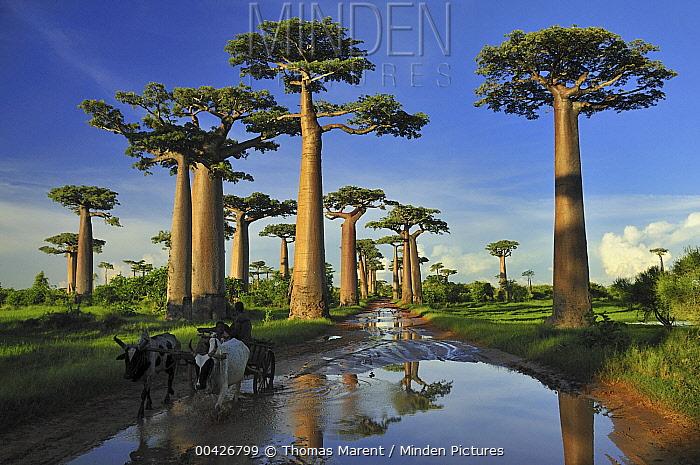 Grandidier's Baobab (Adansonia grandidieri) forest lining road near Morondava, Madagascar  -  Thomas Marent