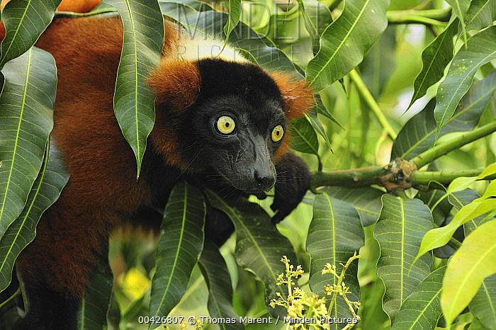 Red Ruffed Lemur (Varecia rubra), Masoala National Park, Madagascar  -  Thomas Marent