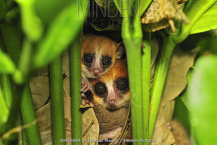 Goodman's Mouse Lemur (Microcebus lehilahytsara) pair in nest, new species discovered in Aug 2005, Masoala National Park, Madagascar  -  Thomas Marent