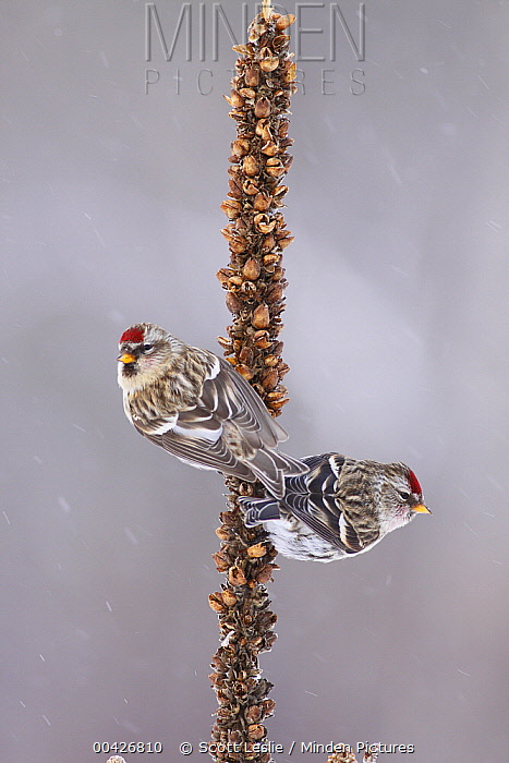 Common Redpoll (Carduelis flammea) pair in winter, Nova Scotia, Canada  -  Scott Leslie