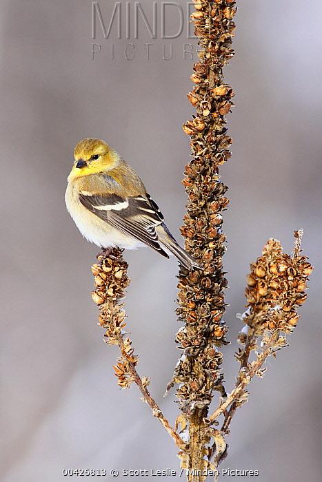 American Goldfinch (Carduelis tristis) in winter, Nova Scotia, Canada  -  Scott Leslie