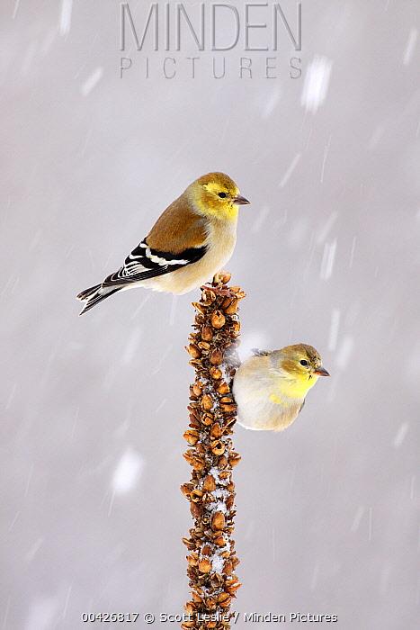 American Goldfinch (Carduelis tristis) pair in winter, Nova Scotia, Canada  -  Scott Leslie
