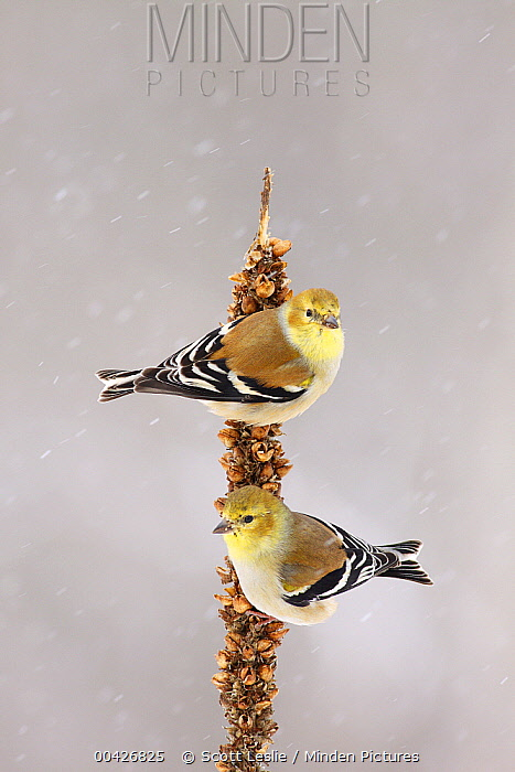 American Goldfinch (Carduelis tristis) pair in winter, Nova Scotia, Canada  -  Scott Leslie