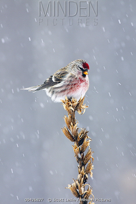 Common Redpoll (Carduelis flammea) in winter, Nova Scotia, Canada  -  Scott Leslie