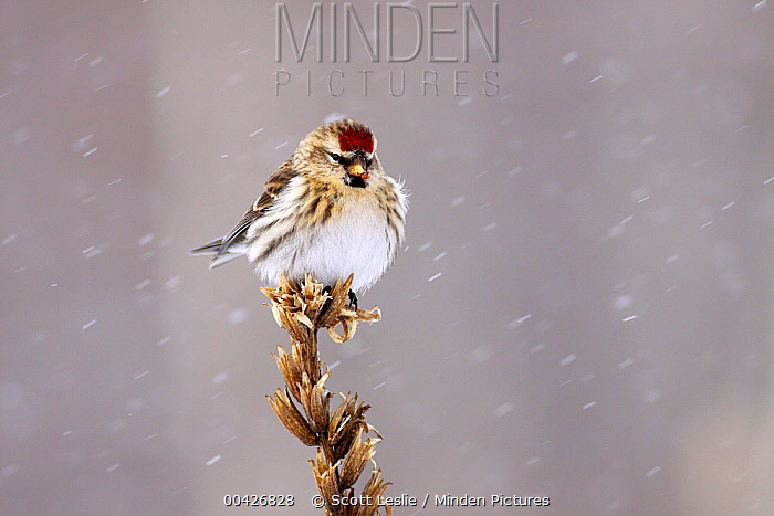 Common Redpoll (Carduelis flammea) in winter, Nova Scotia, Canada  -  Scott Leslie