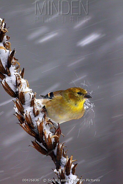 American Goldfinch (Carduelis tristis) in snowstorm being hit by a chunk of snow, Nova Scotia, Canada  -  Scott Leslie
