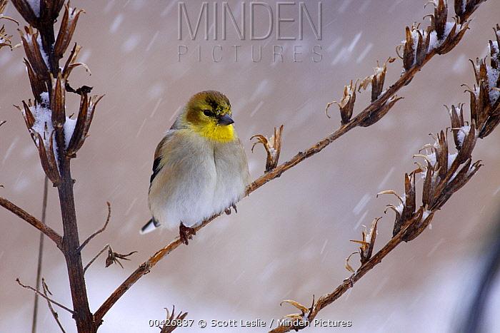 American Goldfinch (Carduelis tristis) in snowstorm, Nova Scotia, Canada  -  Scott Leslie
