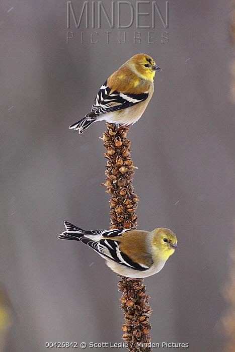 American Goldfinch (Carduelis tristis) pair, Nova Scotia, Canada  -  Scott Leslie