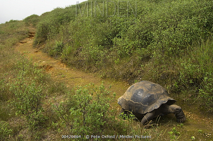 Volcan Alcedo Giant Tortoise (Chelonoidis vandenburghi) on rim of volcano, Alcedo Volcano, Isabella Island, Galapagos Islands, Ecuador  -  Pete Oxford