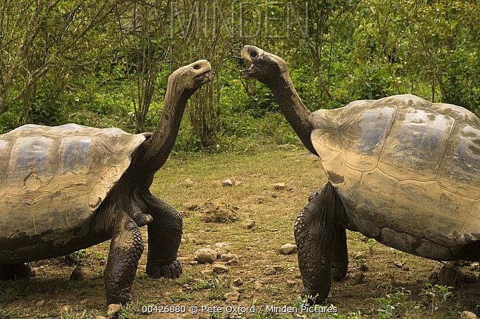 Volcan Alcedo Giant Tortoise (Chelonoidis vandenburghi) pair showing aggression, Alcedo Volcano crater floor, Isabella Island, Galapagos Islands, Ecuador  -  Pete Oxford