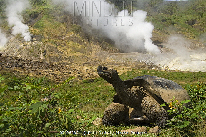 Volcan Alcedo Giant Tortoise (Chelonoidis vandenburghi) and steam vent, Alcedo Volcano crater floor, Isabella Island, Galapagos Islands, Ecuador  -  Pete Oxford