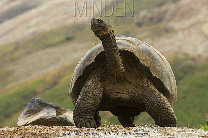 Volcan Alcedo Giant Tortoise (Chelonoidis vandenburghi) and carapace of a dead tortoise, Alcedo Volcano crater floor, Isabella Island, Galapagos Islands, Ecuador  -  Pete Oxford