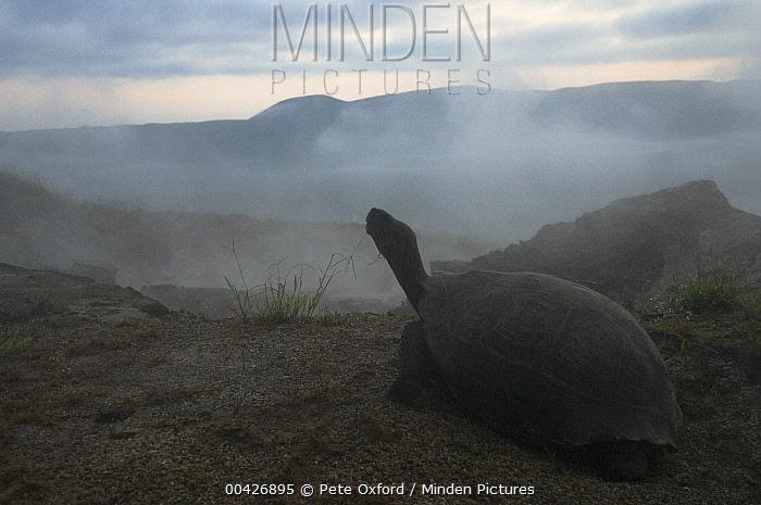 Volcan Alcedo Giant Tortoise (Chelonoidis vandenburghi), Alcedo Volcano crater floor, Isabella Island, Galapagos Islands, Ecuador  -  Pete Oxford