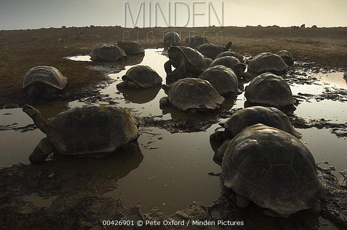 Volcan Alcedo Giant Tortoise (Chelonoidis vandenburghi) group in wallow, Alcedo Volcano crater floor, Isabella Island, Galapagos Islands, Ecuador  -  Pete Oxford