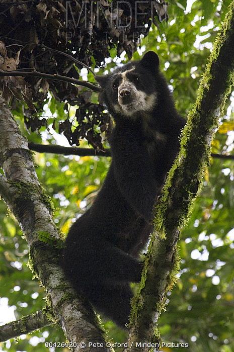 Spectacled Bear (Tremarctos ornatus) female, Maquipucuna Nature Reserve, Ecuador  -  Pete Oxford