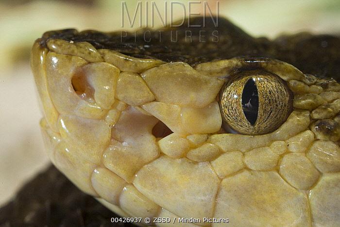 Brazilian Lancehead (Bothrops moojeni) snake showing nostril and pit sensory organ, native to South America  -  ZSSD