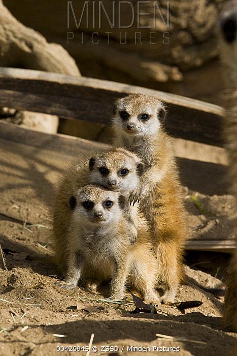 Meerkat (Suricata suricatta) trio, native to Africa  -  ZSSD