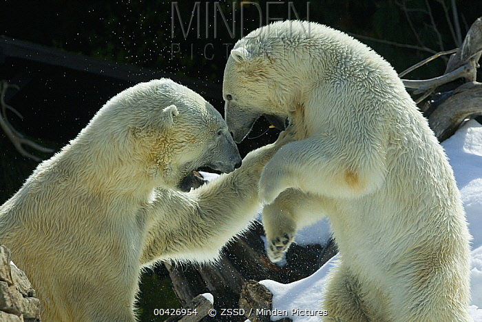 Polar Bear (Ursus maritimus) pair fighting, native to North America  -  ZSSD