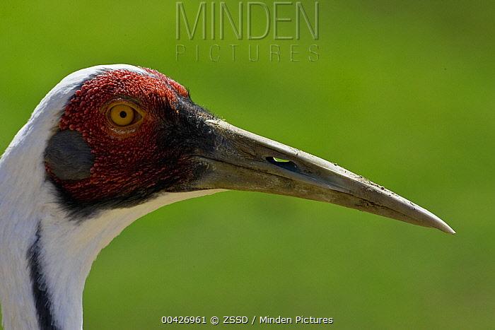 White-naped Crane (Grus vipio) portrait, native to Asia and Australia  -  ZSSD