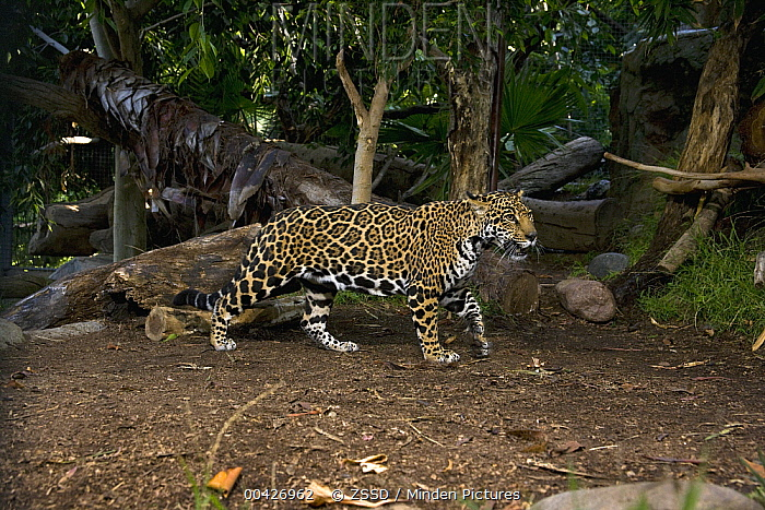 Jaguar (Panthera onca) walking, native to Central and South America  -  ZSSD