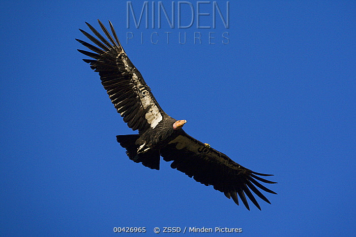 California Condor (Gymnogyps californianus), native to North America  -  ZSSD