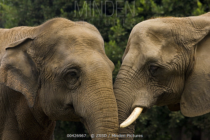 African Elephant (Loxodonta africana) and Asian Elephant (Elephas maximus), native to Africa and Asia  -  ZSSD