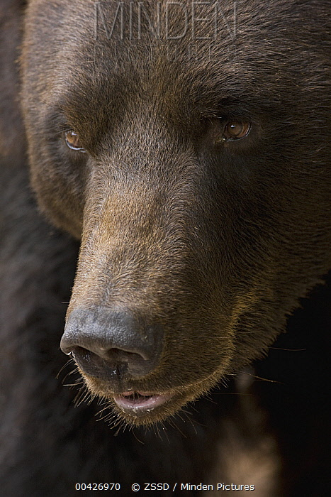 Brown Bear (Ursus arctos) portrait, native to Europe and North America  -  ZSSD