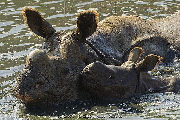 Indian Rhinoceros (Rhinoceros unicornis) mother and calf in water, native to India  -  ZSSD