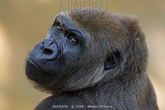 Western Lowland Gorilla (Gorilla gorilla gorilla) portrait, native to Africa  -  ZSSD
