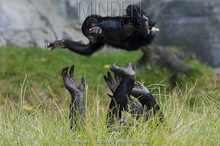 Bonobo (Pan paniscus) female playing with youngster by throwing him up in the air, native to Africa  -  ZSSD