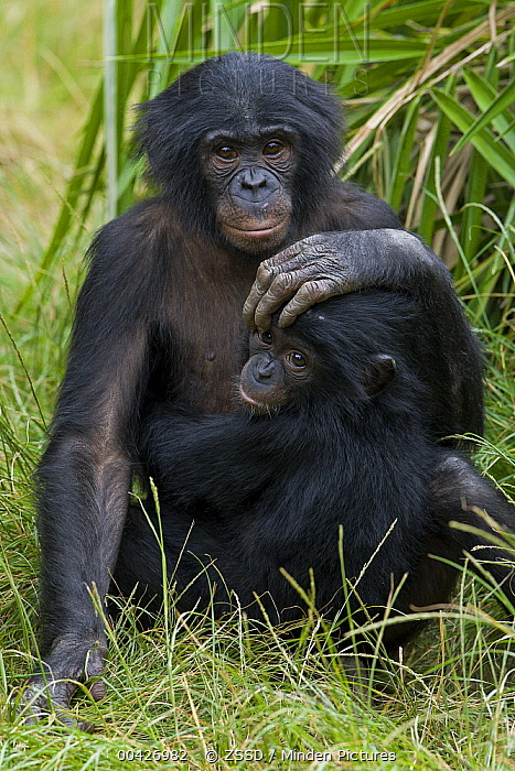 Bonobo (Pan paniscus) sub-adult and baby, native to Africa  -  ZSSD