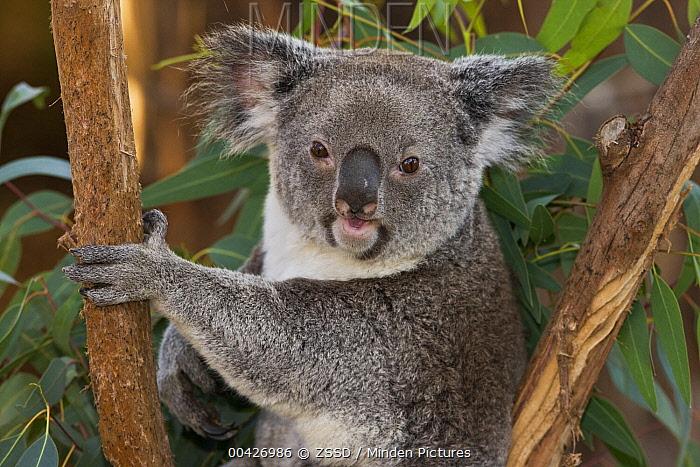 Queensland Koala (Phascolarctos cinereus adustus) in eucalyptus tree, native to Queensland  -  ZSSD