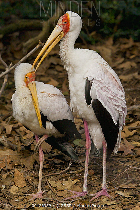 Yellow-billed Stork (Mycteria ibis) pair preening, native to Africa  -  ZSSD