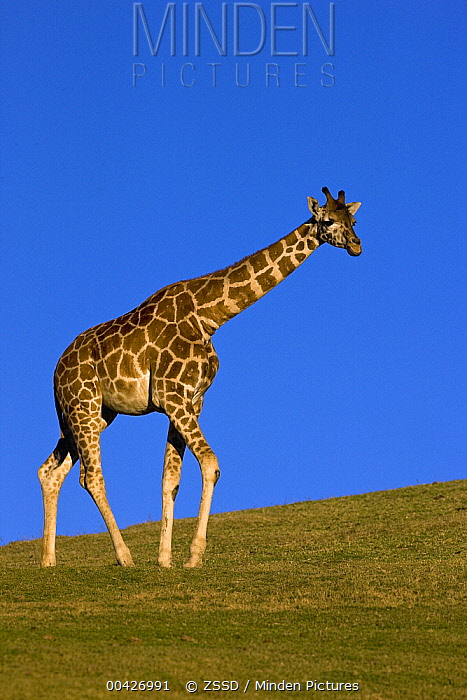 Rothschild Giraffe (Giraffa camelopardalis rothschildi) walking, native to Africa  -  ZSSD
