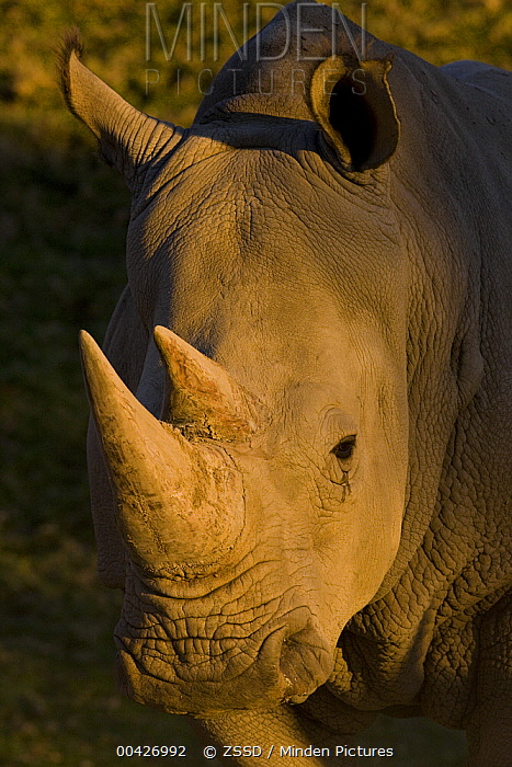 White Rhinoceros (Ceratotherium simum) portrait, native to Africa  -  ZSSD