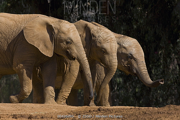 African Elephant (Loxodonta africana) trio, native to Africa  -  ZSSD