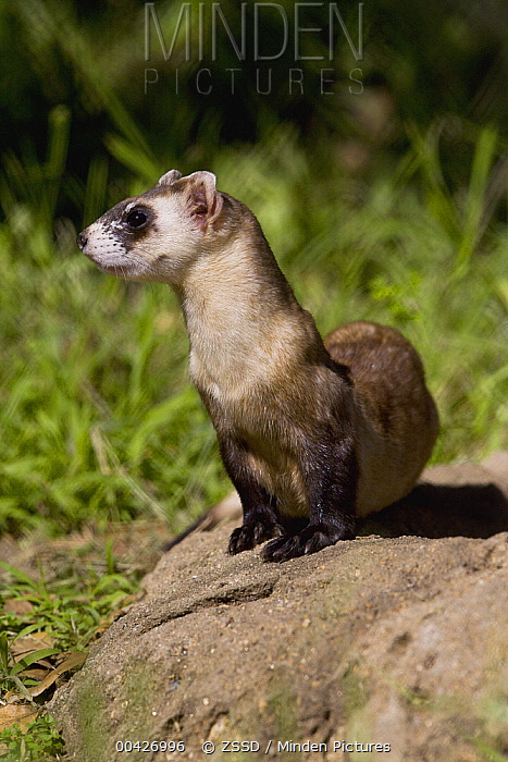 Black-footed Ferret (Mustela nigripes), native to North America  -  ZSSD