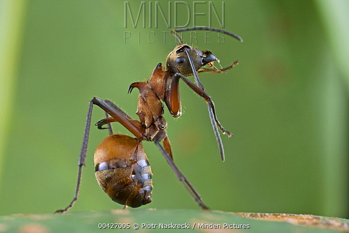 Spiny Ant (Polyrhachis sp) cleaning antennae, Virachey National Park, Cambodia  -  Piotr Naskrecki