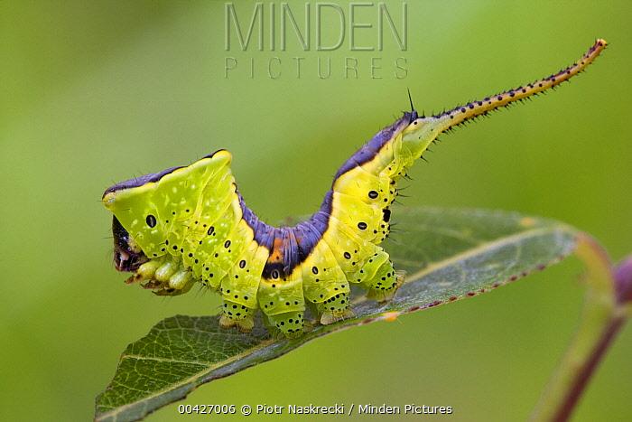 Prominent Moth (Furcula sp) caterpillar, Sichuan, China  -  Piotr Naskrecki