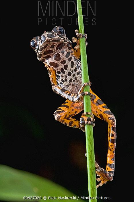 Ivory Coast Running Frog (Kassina arboricola), Atewa Range Forest Reserve, Atewa Range, Ghana  -  Piotr Naskrecki
