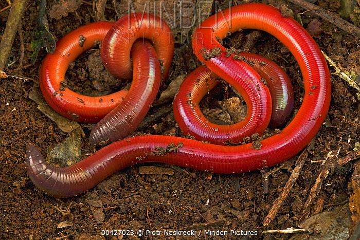 Earthworm pair, Atewa Range Forest Reserve, Ghana  -  Piotr Naskrecki