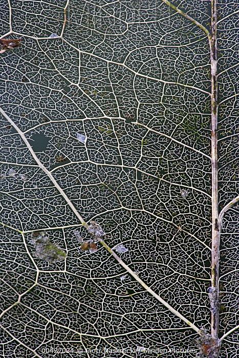 Skeletonized leaf, Atewa Range Forest Reserve, Atewa Range, Ghana  -  Piotr Naskrecki