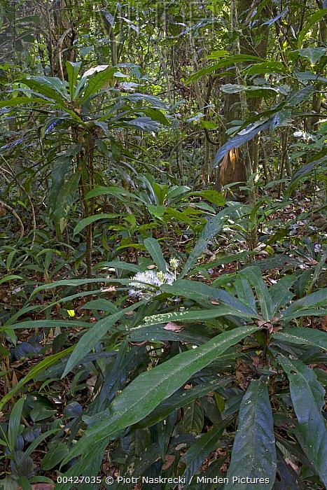 Rainforest interior with dense vegetation, Atewa Range Forest Reserve, Ghana  -  Piotr Naskrecki