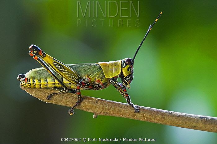 Variegated Grasshopper (Zonocerus variegatus), a pest species, Ajenjua Bepo Forest Reserve, Ghana  -  Piotr Naskrecki